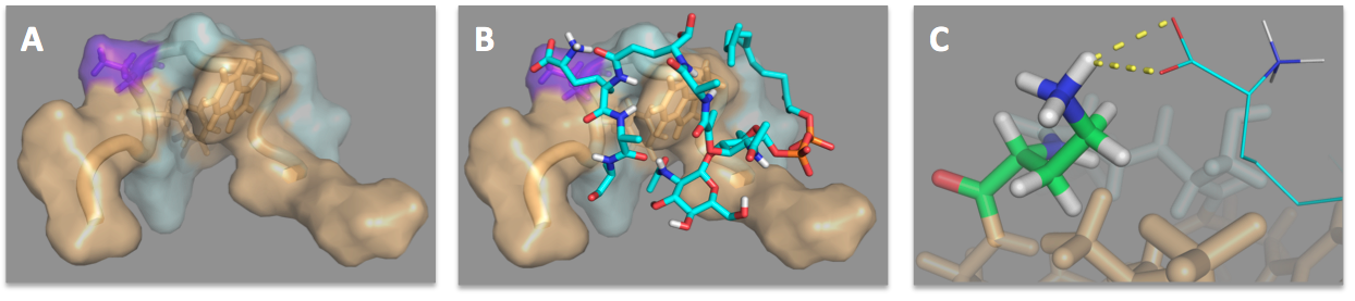 Publications figure showing the NMR solution structure of the tridecaptin A1:lipid II complex